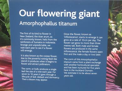 Auckland Domain - The Corpse Flower